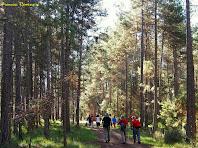 "Passejant enmig de pins rojalets. Autor: Francesc ""Caminaire"""