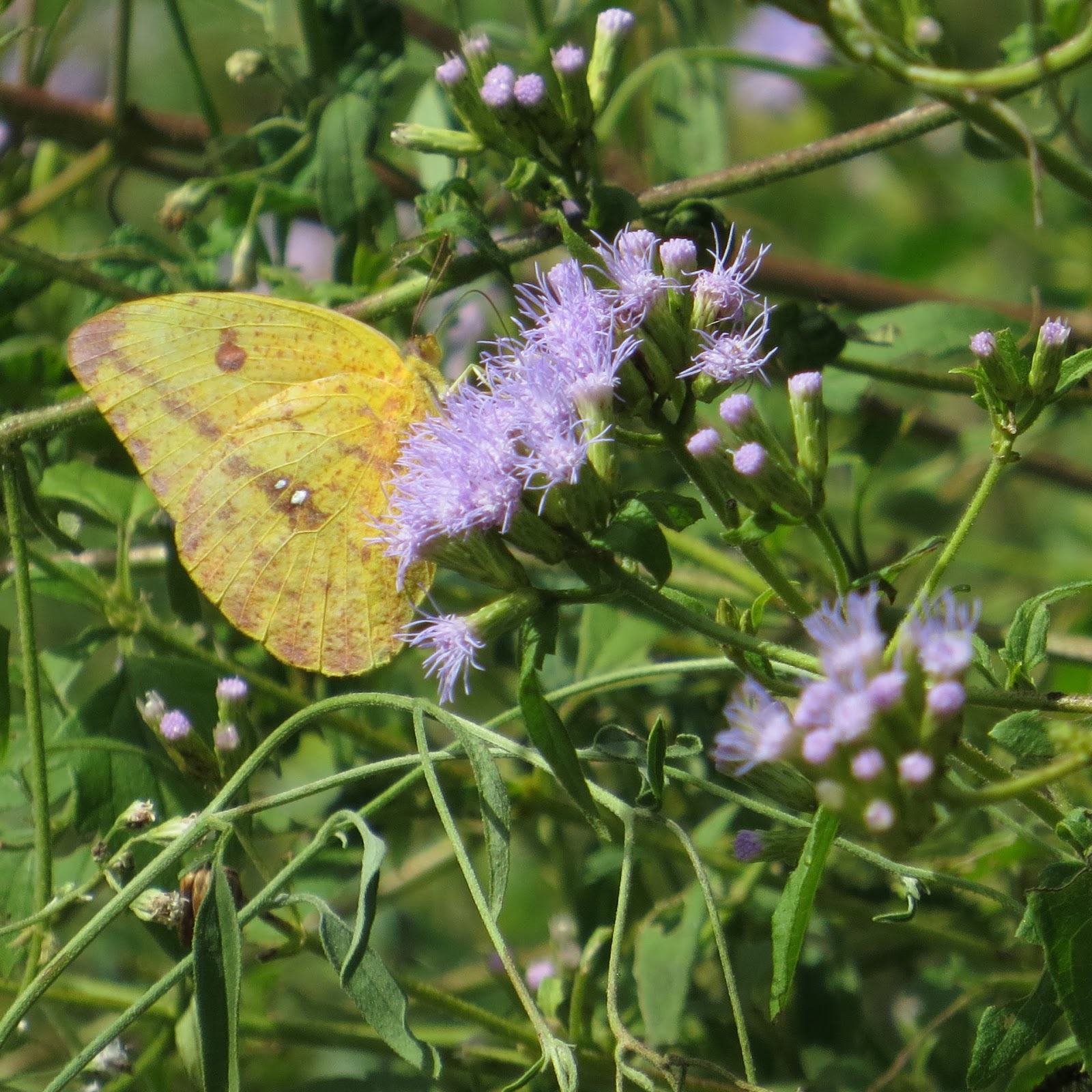 ... Which Is Nectaring On Crucita Or Mistflower (Eupatorium Odoratum) Which  Is Probably The Main Plant In Most South Texas Butterfly Gardens: