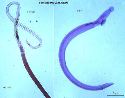 Cacing schistosoma japonicum spoiler for schistosoma japonicum
