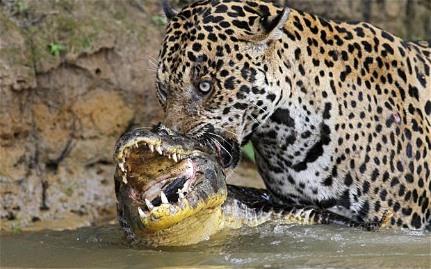 Jaguar animal eating - photo#4