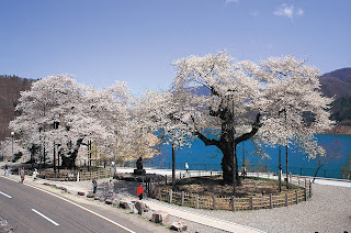 Shokawazukura of Miboro,450 year old transplanted cherry blossom trees.Takayama