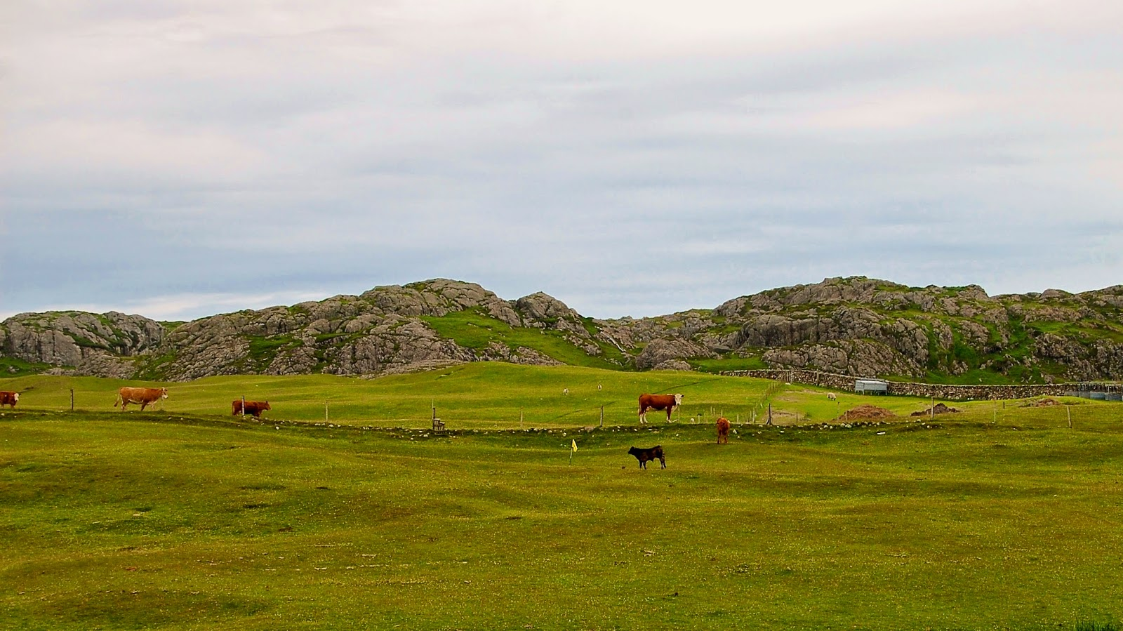 Cows graze on the greens, Isle of Iona golf course