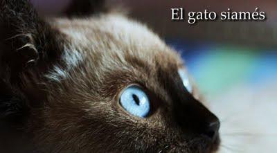El gato de casa el gato siam s mitos y verdades - El gato en casa ...
