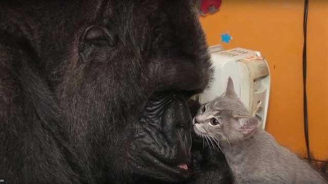 بالصور والفيديو.. غوريلا تتبنى صغار القطط بعد عجزها عن الإنجاب