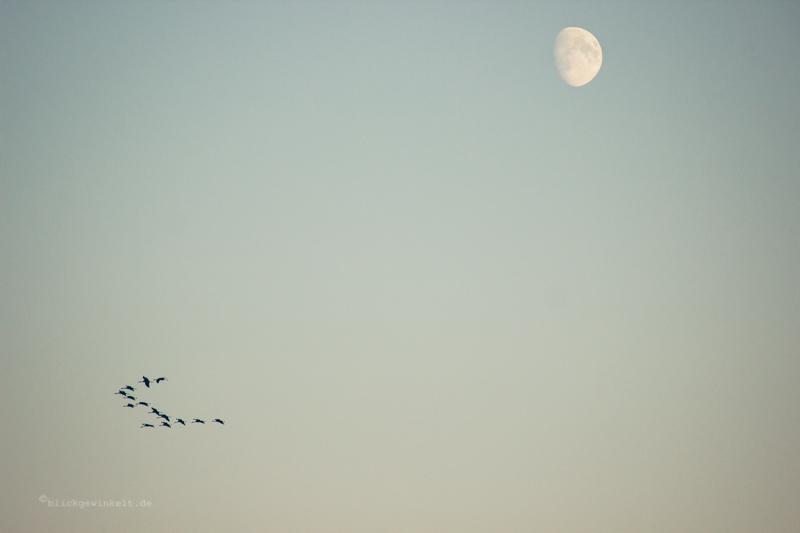 Fliegende Kraniche vor Mond