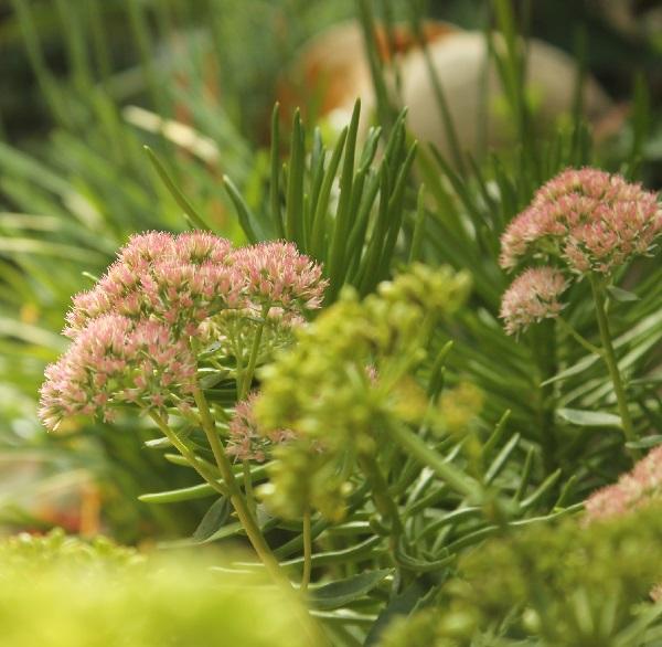 sedum autumn joy en mi jardín