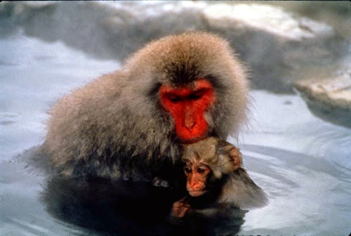 Japan Tours Travel Honeymoon Onesen Monkey