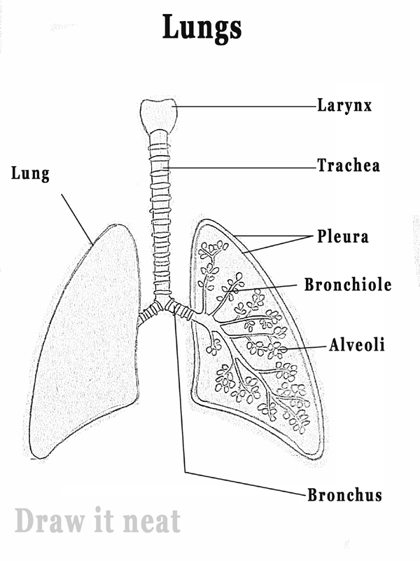 Draw it neat how to draw lungs diagram right lung is larger than the left lungs and it is made of three lobes while the left lung has only two lobes a pipe like structure called trachea carries ccuart Images