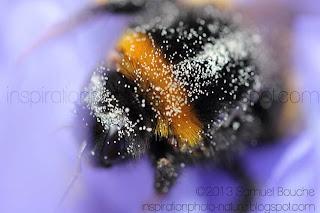 photo insecte macro bourdon