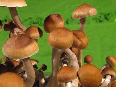 champignon hallucinogene McKenna