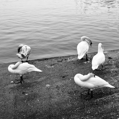 Swan Cygne Pierre-Pflimlin Rhin Alsace Baden-Württemberg France Germany