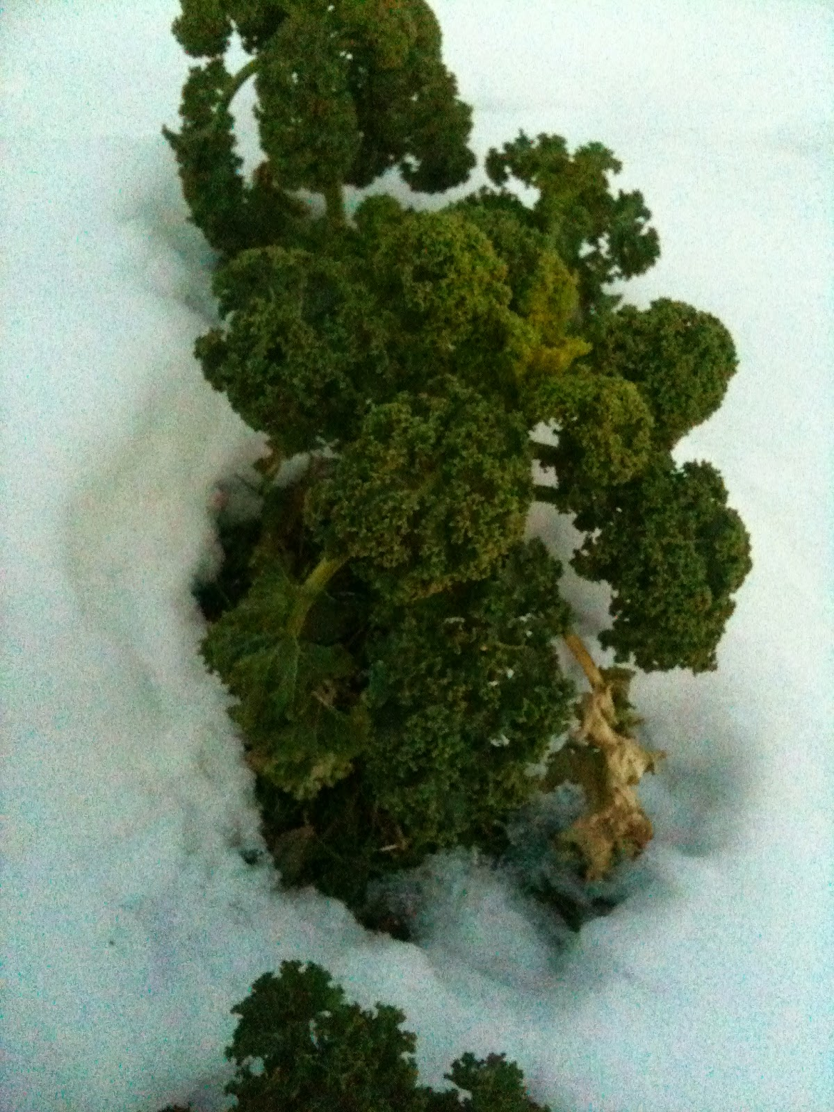 The best kale varieties will over winter and give you a harvest in winter.