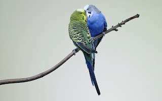 Budgies Kissing Love HD Wallpaper
