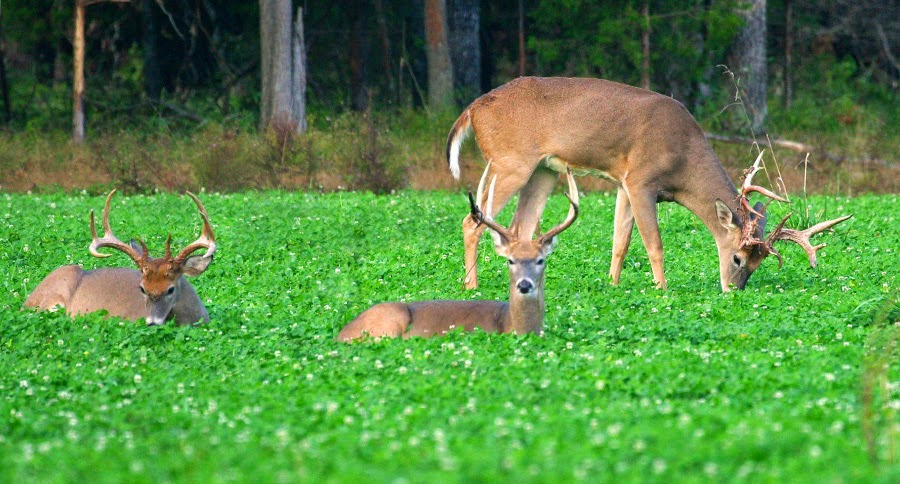 http://www.whitetailinstitute.com/imperial-whitetail-clover-perennial/