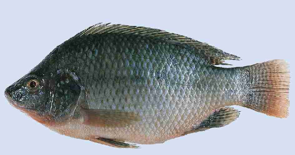 Survival sage blog when the shtf find these fish and a tarp for Raising tilapia in a pool