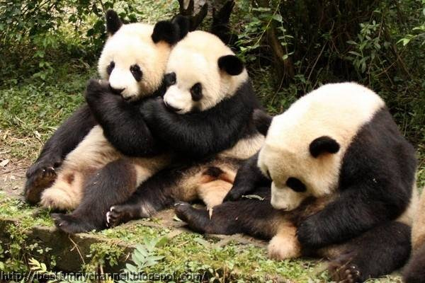 panda bears pictures 4