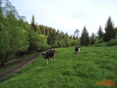 Vaci negre