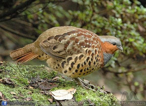 يعيش هذا النوع في الغابات الحارة والمراعي وموطنها الأصلي الصين ( خاصتا بالشرق ) التايوان  وأدخلت أيضا بنجاح لليابان وهاواي والأرجنتين