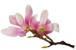 Compound In Magnolia May Combat Head And Neck Cancers