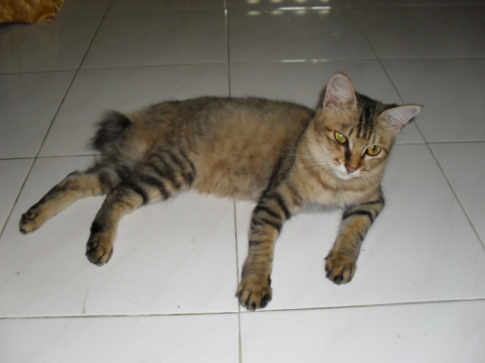 Kucing Paling Besar Di Dunia Vs Kucing Saya Mana Lagi