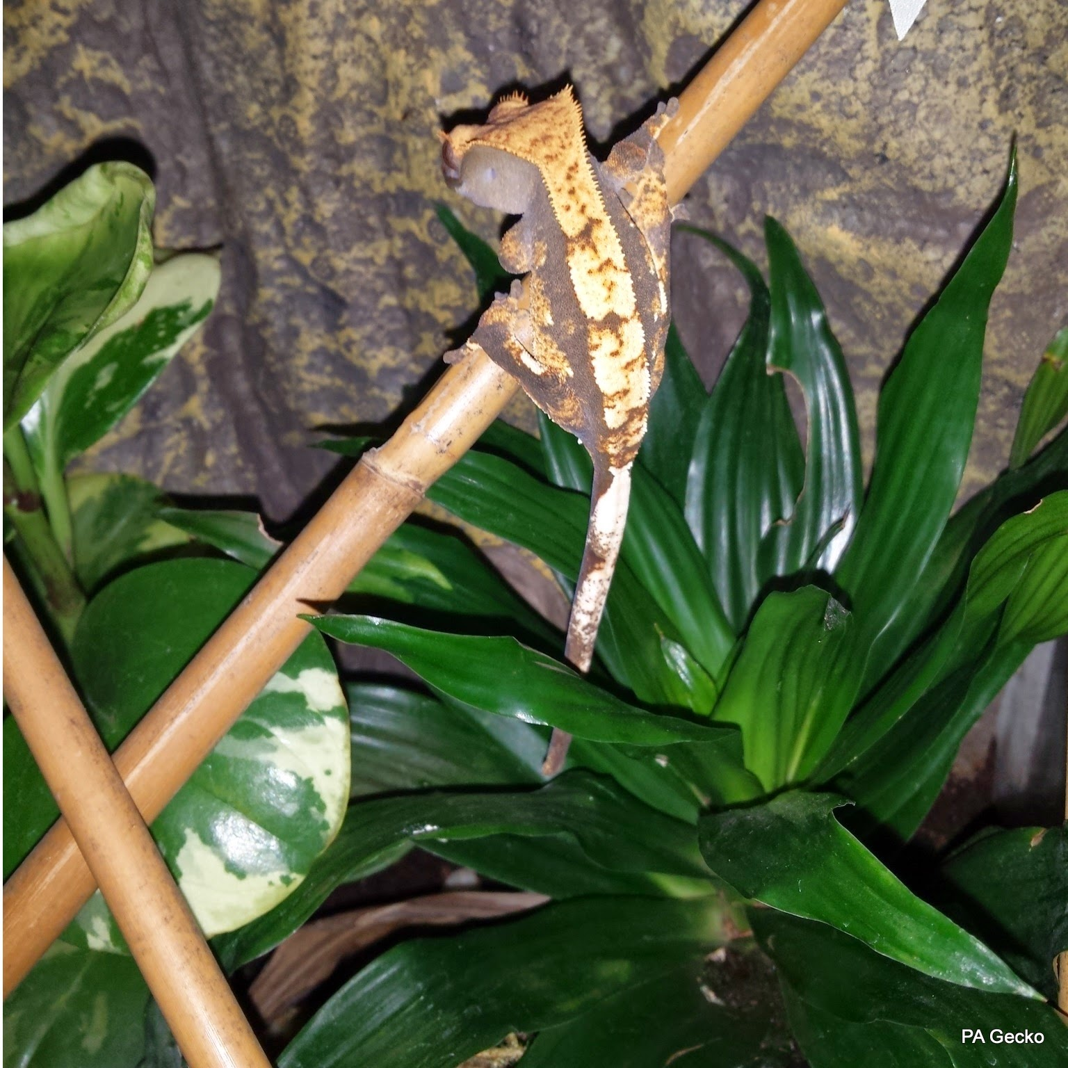 PA Gecko Crested Gecko Female 3