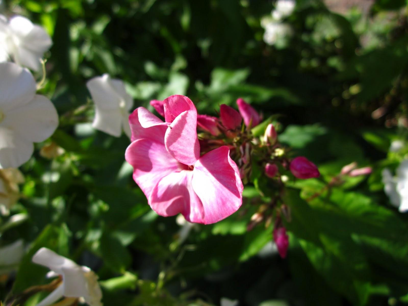 Höstflox, rosa blommor, trädgård