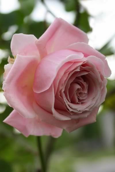 flowers gardens roses beautiful roses. Black Bedroom Furniture Sets. Home Design Ideas