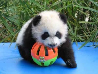 Hình ảnh gấu trúc panda dễ thương