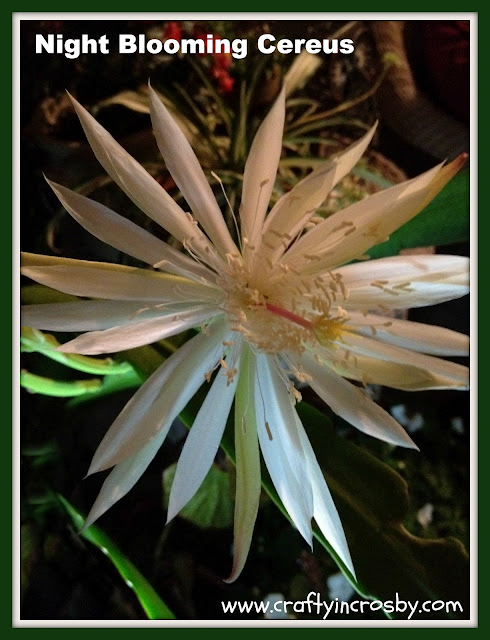 www.craftyincrosby.com, Night Blooming Flower, blooming cactus