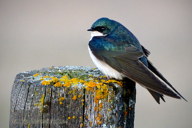 Tree Swallow (Tachycineta bicolor) copyright John Ashley