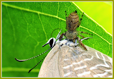 spider with butterfly as prey