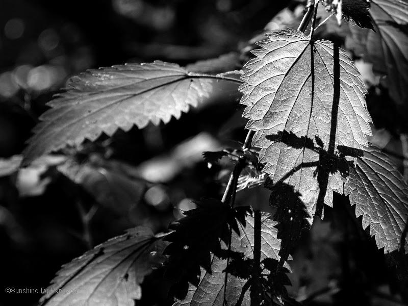 Brennessel schwarzweiss