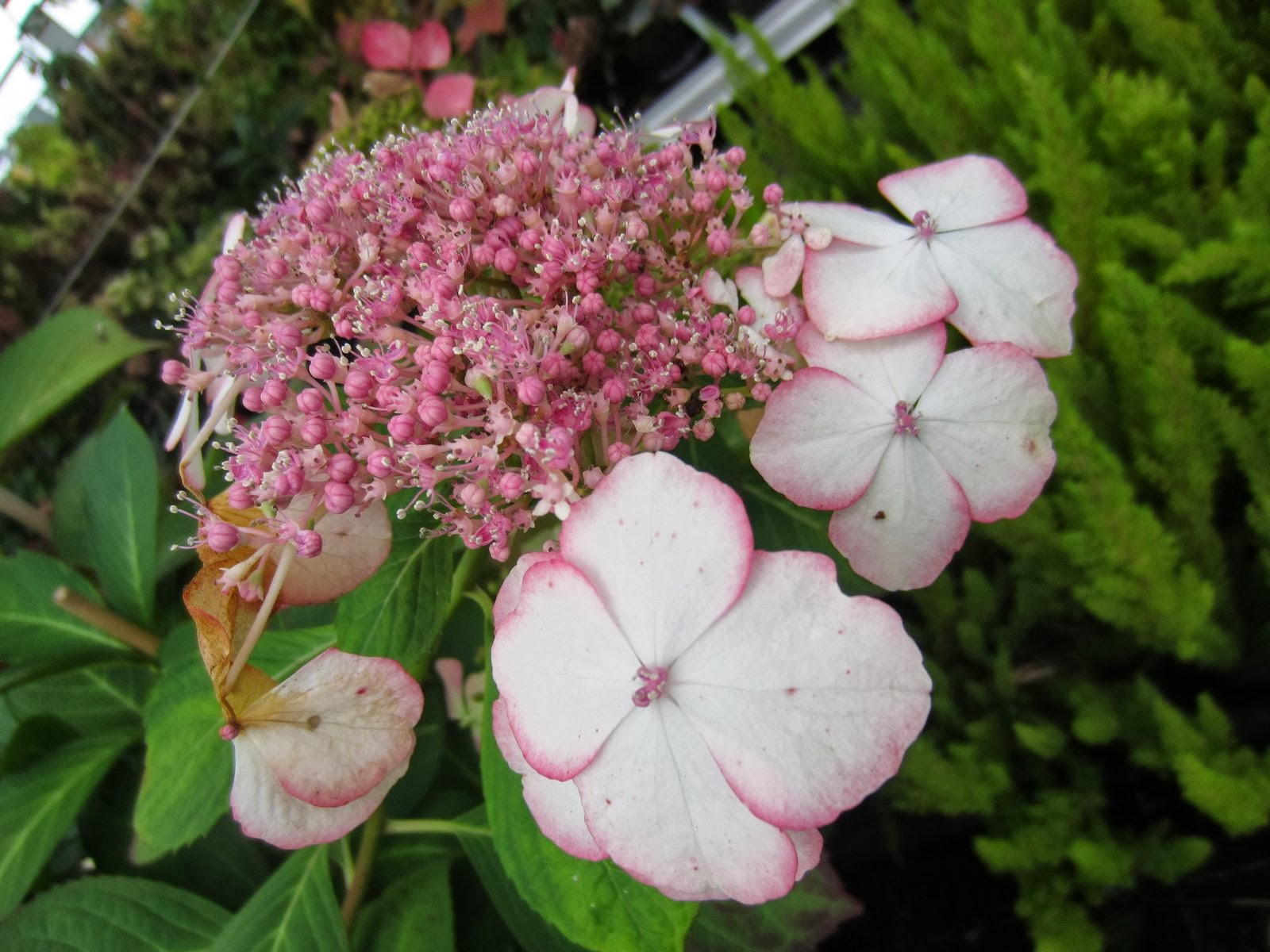 hydrangea macrophylla hortensie hortensia natural. Black Bedroom Furniture Sets. Home Design Ideas