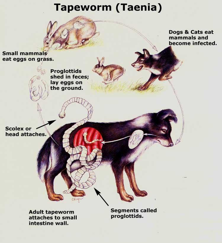 Tapeworms in dogs poop