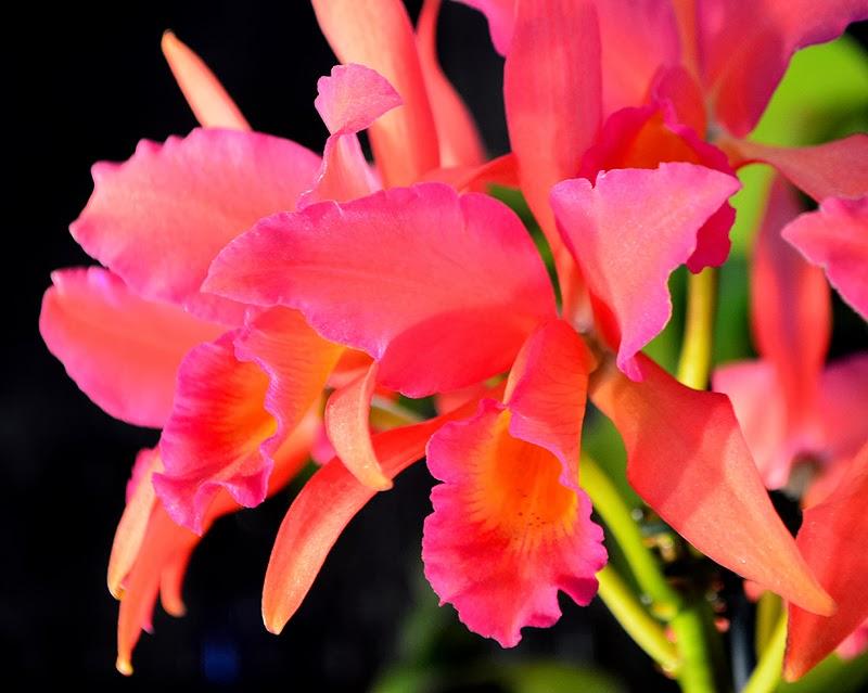 Atlanta Orchid Society's Orchid Show, Atlanta Botanical Garden