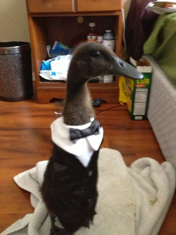 Funny animals of the week - 6 December 2013 (35 pics), duck wears tuxedo