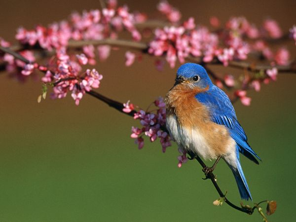 Bluebird | Animal Wild...