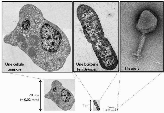 photo d'une cellule eucaryote, comparée à une bacterie (procaryote), comparée à un virus, avec echelle de taille