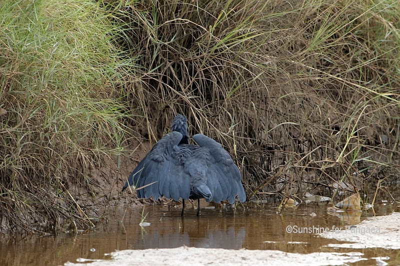 Black Egret canopy fishing