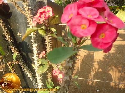 Cara mengobati Sembelit dengan bunga euphorbia.