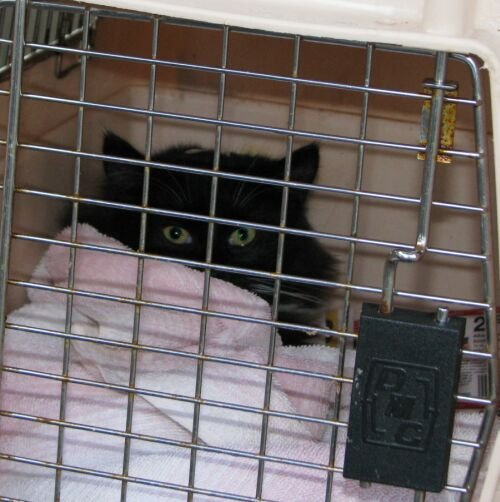 Horrible photo of Paws, teen black tux long hair male, fixed yesterday, son ...