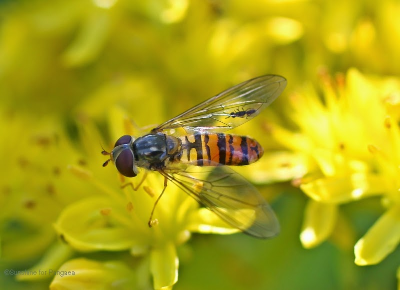 marmalade hoverfly - Episyrphus balteatus - macro photo