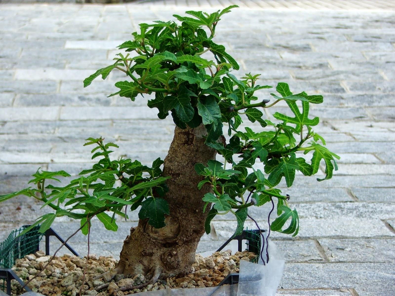 Evoluzione Bonsai Bonsai Di Fico Ficus Carica Fig Tree