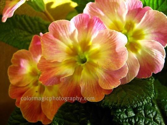 Pink primulas-primroses