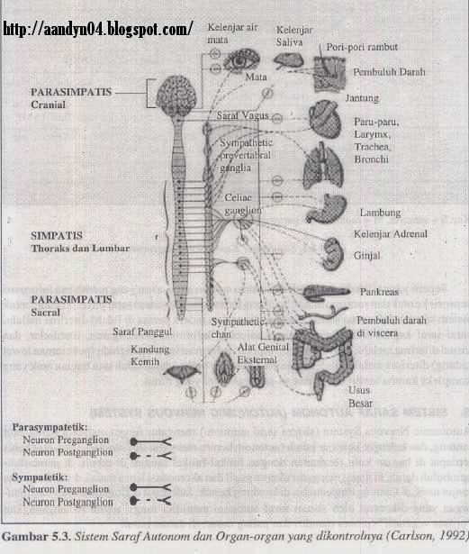 sistem saraf aoutonom dan organ-organ yang dikontrolnya