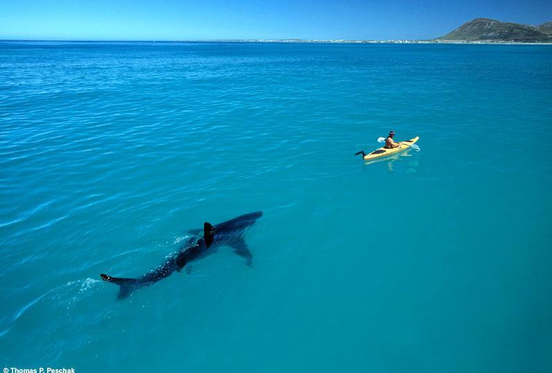 Great White Shark and Kayak