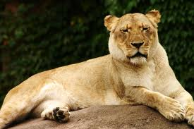 Zoo Animals - Lioness