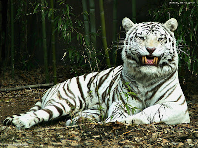 Endangered_White_tiger