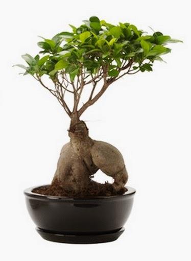 C mo cuidar un bons i ficus jardinosfera - Como cuidar un bonsai ...