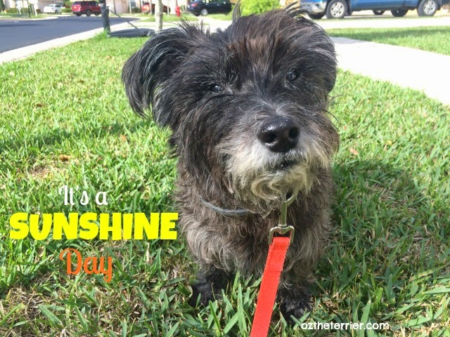 Oz the Terrier | Sunshine Day